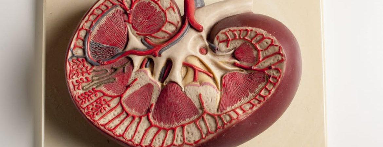 le-rein-un-organe-qui-se-fait-trop-souvent